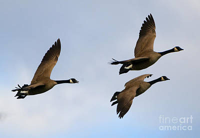 Canadian Geese Trio Poster by Mike Dawson