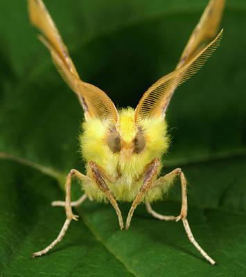 Canary-shouldered Thorn Moth Poster by Nigel Downer