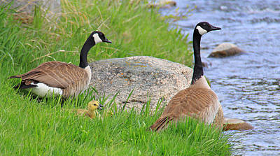 Canda Geese And Goslings Poster by Jennie Marie Schell