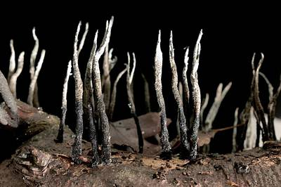 Candlesnuff Fungus (xylaria Hypoxylon) Poster