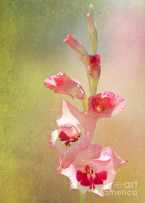 Candy Cane Gladiolas Poster