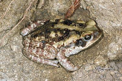 Cane Toad, Ecuador Poster by Science Photo Library