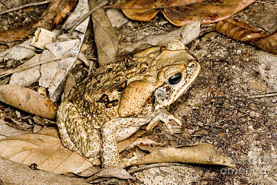 Cane Toad Poster by Gregory G. Dimijian, M.D.