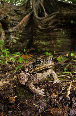 Cane Toad (rhinella Marina Poster by Pete Oxford