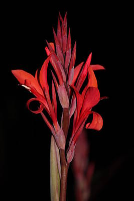 Canna Classy On Black Poster