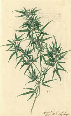 Cannabis Sativa Poster by Natural History Museum, London