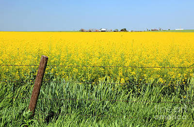 Canola Field Poster by Pattie Calfy