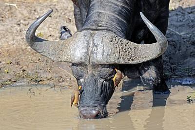 Cape Buffalo And Yellow-billed Oxpecker Poster