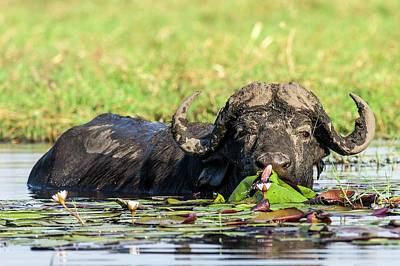 Cape Buffalo Feeding On Water Lilies Poster by Peter Chadwick