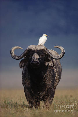 Cape Buffalo With Cattle Egret In Tanzania Poster by Frans Lanting MINT Images