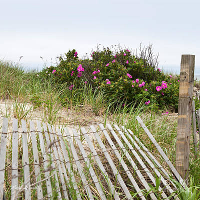 Cape Cod Beach Roses Poster by Michelle Wiarda