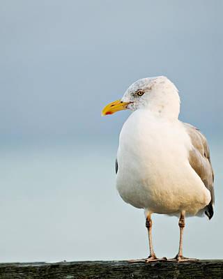 Cape Cod Seagull Poster