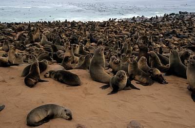 Cape Fur Seal (arctocephalus Pusillus) Poster