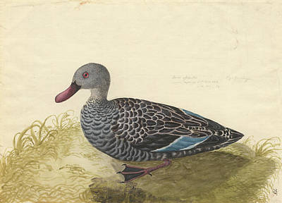 Cape Teal Poster by Natural History Museum, London
