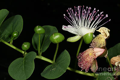 Caper Flower Poster by Dr. Roland Spohn