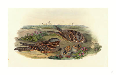 Caprimulgus Europaeus Nightjar Poster by John Gould (1804-1881) And Henry Constantine Richter (1821?1902), English