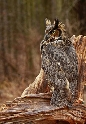 Captivated By Raptors Great Horned Owl In The Forest Poster by Inspired Nature Photography Fine Art Photography