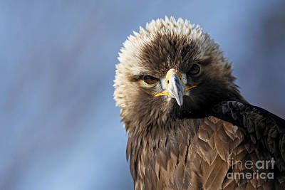 Captivating Golden Eagle Watching You Poster by Inspired Nature Photography Fine Art Photography
