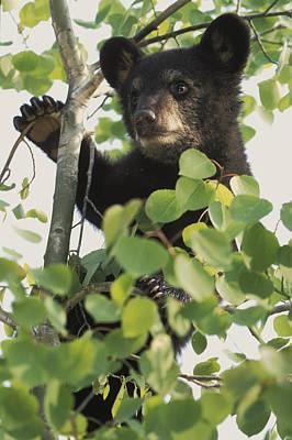 Captive Black Bear Cub Climbing Birch Poster by Michael DeYoung
