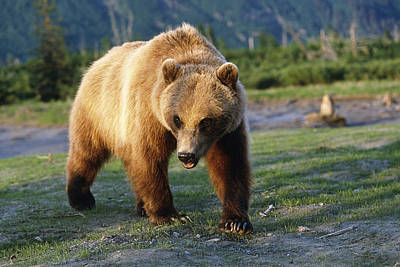 Captive Brown Bear Walking Poster by Doug Lindstrand