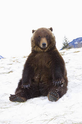 Captive Grizzly During Winter Sits Poster