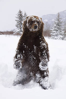 Captive Grizzly Stands On Hind Feet Poster by Doug Lindstrand