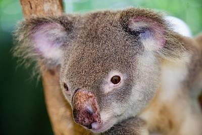 Captive Koala Bear Poster