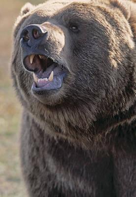 Captive Kodiak Grizzly Bear Poster