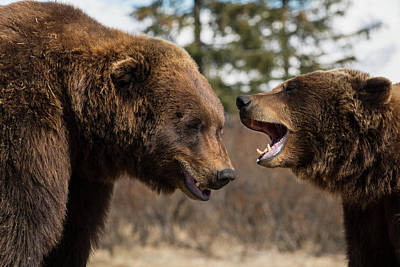 Captive  Male And Female Brown Bears Poster by Doug Lindstrand