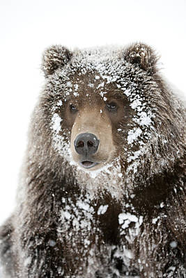 Captive Male Brown Bear With A Frosty Poster by Doug Lindstrand