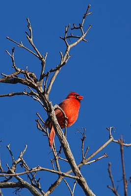 Cardinal And Blue Poster by Janice Adomeit