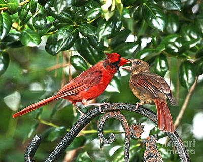 Cardinal Gift Of Love Photo Poster by Luana K Perez