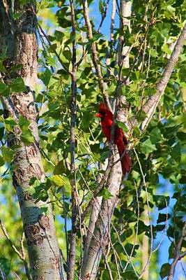 Cardinal Hidden Poster by Alicia Knust