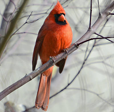 Cardinal In A Tree Poster by Susan Leggett