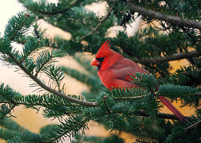 Cardinal In Balsam Poster by Susan Capuano