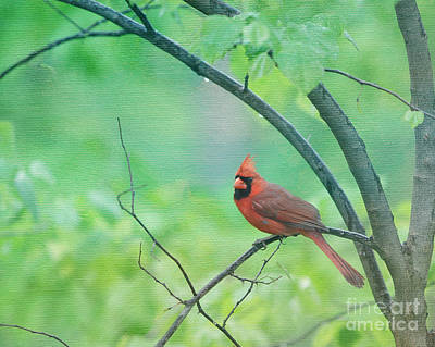 Cardinal In Rain Poster by Kay Pickens