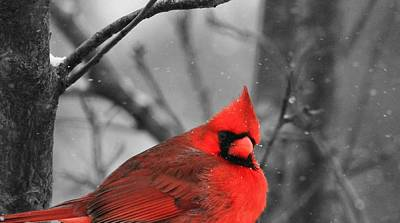 Cardinal In Snow Poster by Dan Sproul