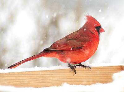 Cardinal In Snow Storm Poster by Jim Hughes
