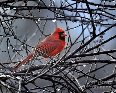 Cardinal In The Rain   Poster by Nava Thompson