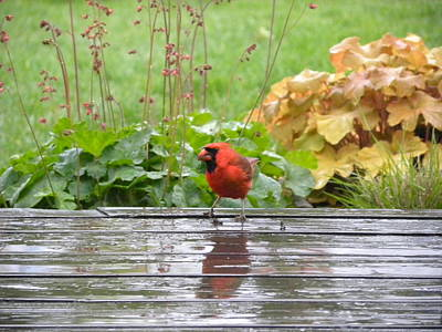 Poster featuring the photograph Cardinal In The Rain by Teresa Schomig