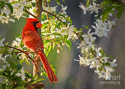 Cardinal In The Springtime Poster