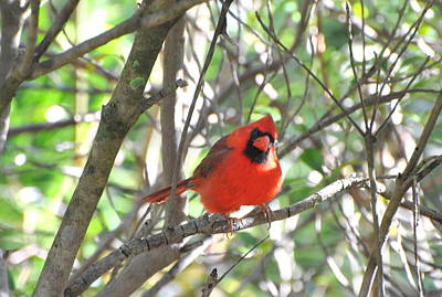 Poster featuring the photograph Cardinal In Tree by Jodi Terracina