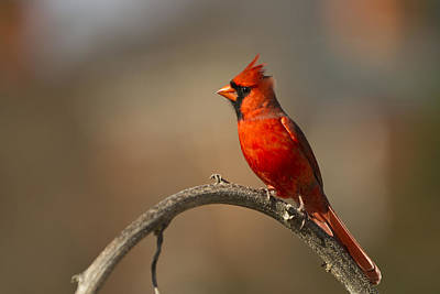 Poster featuring the photograph Cardinal by Jerry Gammon