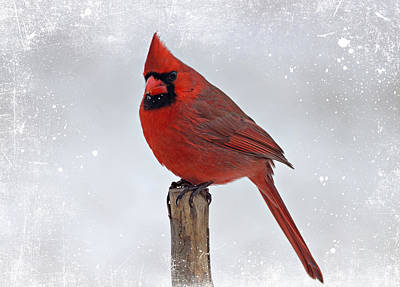 Cardinal Perching Poster by Sandy Keeton