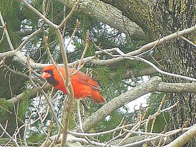 Cardinal Red Poster