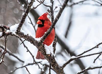 Cardinal Snow Scene Poster