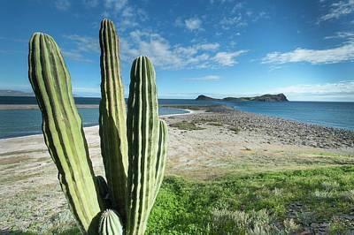 Cardon Cactus (pachycereus Pringlei) Poster