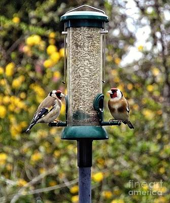 Carduelis Carduelis 'goldfinch' Poster