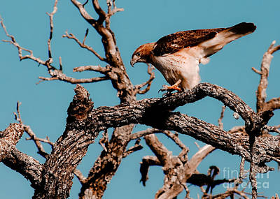 Careful Redtail Poster by Robert Frederick