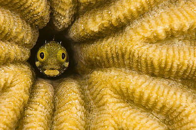 Caribbean, Blenny Fish Looking Out From Poster